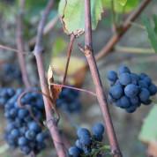Le raisin de Sancerre